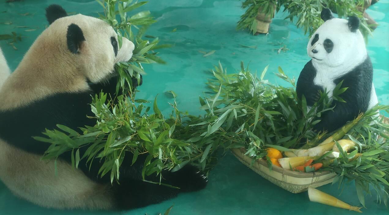 新乡辉县市五龙山为宏丰棋牌充值省内首对大熊猫喜庆三岁生日